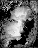Infrared Photo - Prickly Pear Cactus